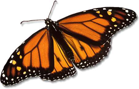 monarch-butterfly_large1